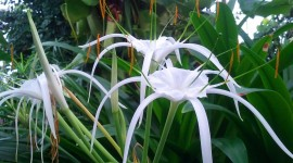 Hymenocallis Photo#1