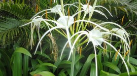 Hymenocallis Wallpaper Download Free