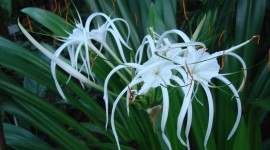 Hymenocallis Wallpaper Full HD#1