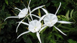 Hymenocallis Wallpaper Gallery