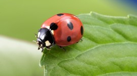 Ladybug Desktop Wallpaper