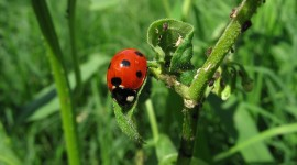 Ladybug Wallpaper Download