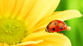 Ladybug Wallpaper Full HD