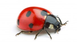 Ladybug Wallpaper High Definition