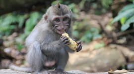 Monkey And Banana Photo Download