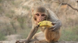 Monkey And Banana Wallpaper Full HD