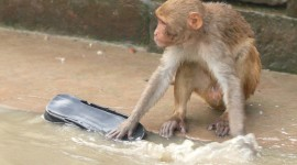 Monkey Swim Desktop Wallpaper#1