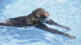 Monkey Swim Photo Free