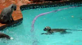 Monkey Swim Wallpaper 1080p