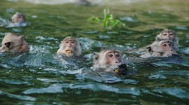 Monkey Swim Wallpaper Download