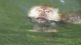 Monkey Swim Wallpaper For IPhone