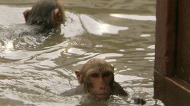Monkey Swim Wallpaper For PC