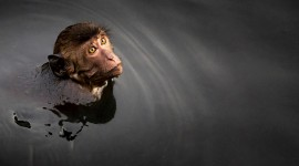 Monkey Swim Wallpaper Full HD