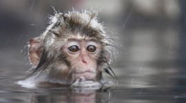 Monkey Swim Wallpaper Gallery