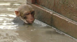 Monkey Swim Wallpaper HQ