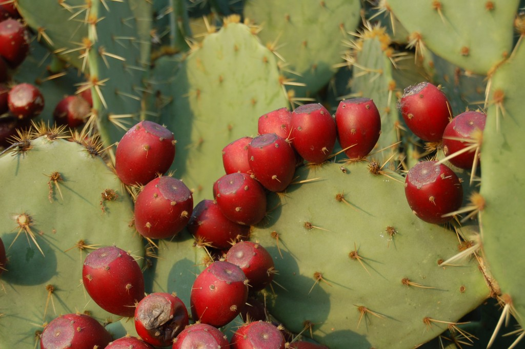Prickly Pear wallpapers HD