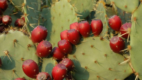 Prickly Pear wallpapers high quality