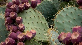 Prickly Pear Photo Download