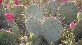 Prickly Pear Photo Download#2