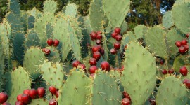 Prickly Pear Photo#2