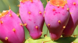Prickly Pear Wallpaper For IPhone