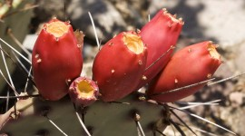 Prickly Pear Wallpaper Gallery