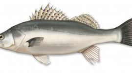 Sea Bass Best Wallpaper