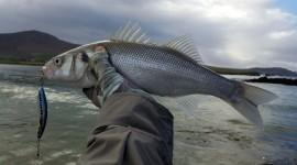 Sea Bass Desktop Wallpaper For PC