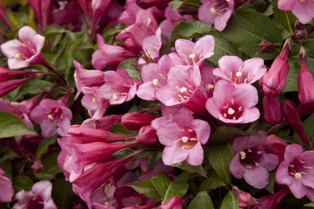 Weigela wallpapers HD