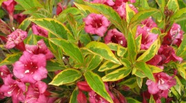 Weigela Desktop Wallpaper For PC