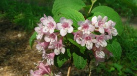 Weigela Desktop Wallpaper HD