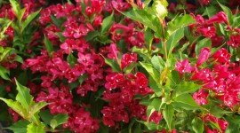 Weigela Photo Download