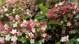 Weigela Photo Free