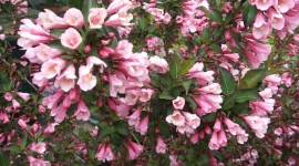 Weigela Photo#1