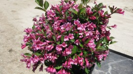 Weigela Wallpaper Download Free