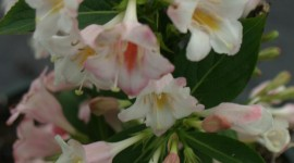 Weigela Wallpaper For IPhone Download
