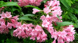 Weigela Wallpaper Free