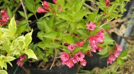Weigela Wallpaper Gallery