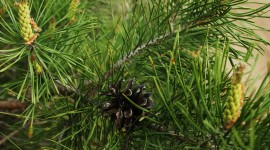 4K Spruce Photo Download
