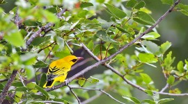 African Golden Oriole Best Wallpaper