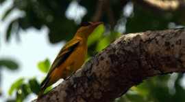 African Golden Oriole Desktop Wallpaper