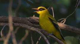 African Golden Oriole Desktop Wallpaper HD