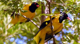 African Golden Oriole Wallpaper 1080p