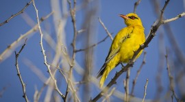 African Golden Oriole Wallpaper