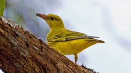 African Golden Oriole Wallpaper Download