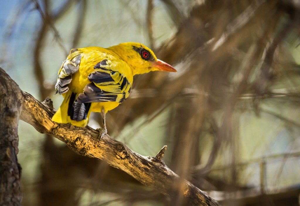African Golden Oriole wallpapers HD