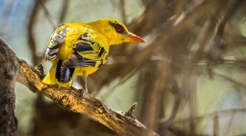 African Golden Oriole Wallpaper For Desktop