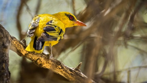 African Golden Oriole wallpapers high quality