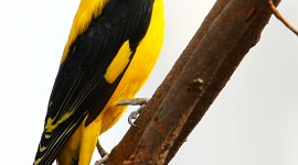 African Golden Oriole Wallpaper For IPhone Free