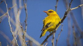 African Golden Oriole Wallpaper For PC
